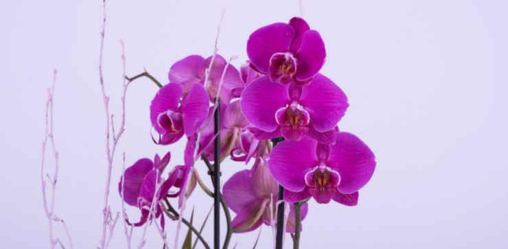 Guia para cuidar de suas orquídeas em casa