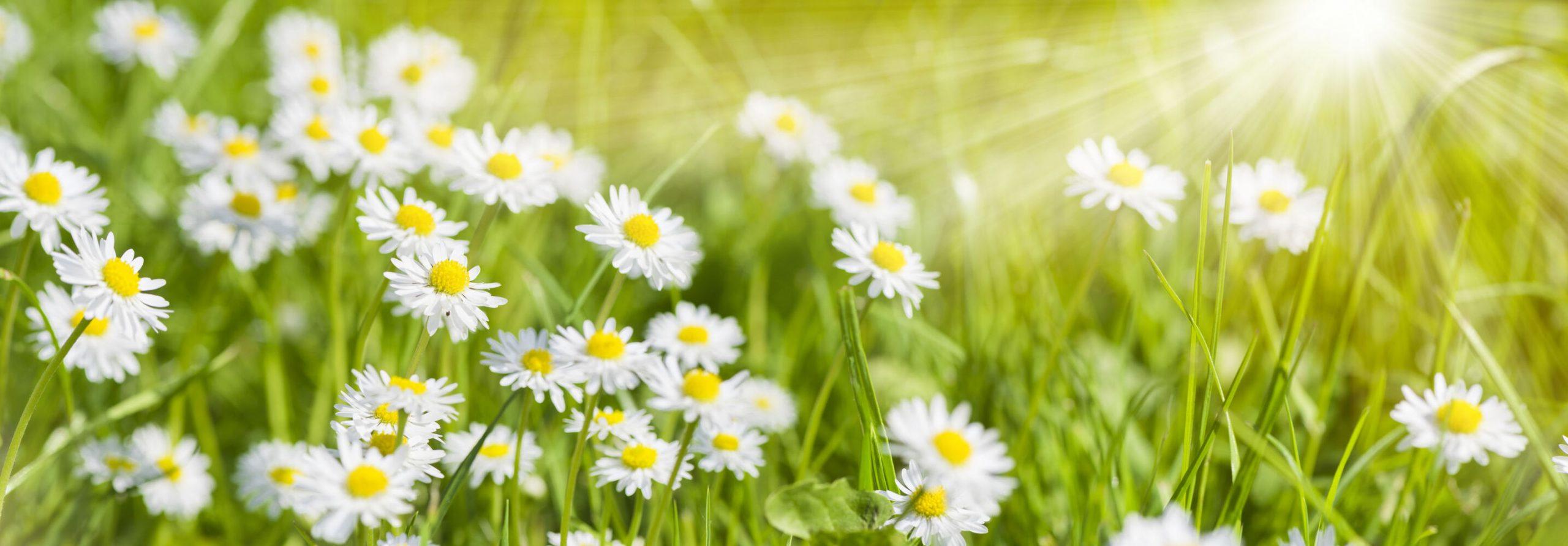 Curiosidades sobre a flor margarida
